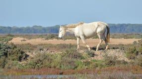 Cheval dans les marais Photographie stock