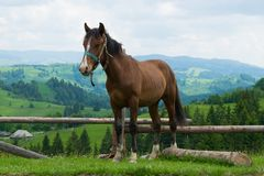 Cheval dans les montagnes carpathiennes image libre de droits