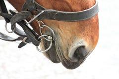 Cheval dans un harness_9 Photographie stock libre de droits