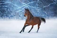 Cheval de baie dans la neige image stock