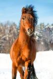 Cheval de baie en hiver Images libres de droits