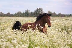 Cheval de baie fonctionnant au champ avec des fleurs photo stock