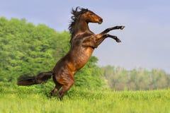 Cheval de baie s'élevant Images libres de droits