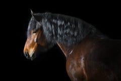 Cheval de baie sur le fond noir Photo stock