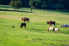 """Cheval de bisons et de Przewalski dans la réservation biologique Monts d """"Azur dans Thorenc, France image libre de droits"""