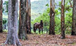 Cheval de Bown dans les arbres Photographie stock