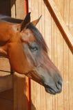 Cheval de Brown Image stock