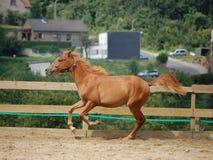 Cheval de Brown Photo stock