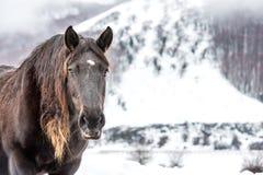 Cheval de Brown avec de longs cheveux sur la neige Photographie stock libre de droits