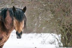 Cheval de Brown avec des cheveux sur la neige Photographie stock libre de droits