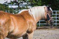 Cheval de Brown avec l'extérieur debout de crinière blanche photo stock