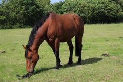 Cheval de Brown dans le grassfield pendant la journée photos libres de droits