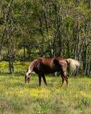 Cheval de Brown frôlant - verticale Image libre de droits