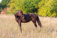 Cheval de Brown frôlant dans la campagne photos libres de droits