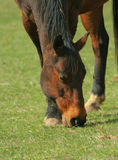 Cheval de Brown mangeant l'herbe Photo stock