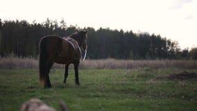 Cheval de Brown mangeant l'herbe et marchant au champ rural banque de vidéos