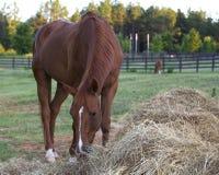 Cheval de Brown mangeant le foin. Image stock