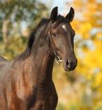 Cheval de brun foncé sur le fond d'automne Image libre de droits
