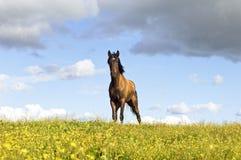 Cheval de châtaigne Photo libre de droits