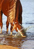 Cheval de châtaigne jouant avec de l'eau Images stock
