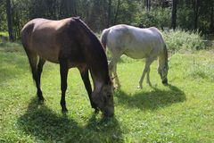 Cheval de chevaux, d'équitation, d'élevage de cheval, gris et blanc, pré vert, jour ensoleillé, chevaux calmes Image libre de droits