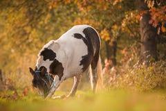 Cheval de cintrage dans la forêt Photo stock