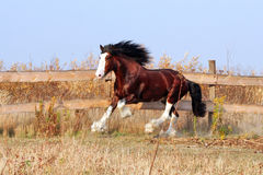 Cheval de Clydesdale Images stock
