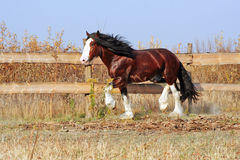 Cheval de Clydesdale Photographie stock