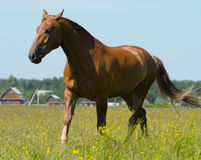 Cheval de compartiment Photo stock