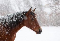 Cheval de compartiment rouge dans l'automne de chute de neige importante Photographie stock libre de droits