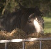Cheval de comté Image libre de droits