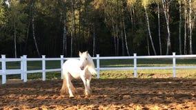 Cheval de comté blanc dans le pré clips vidéos