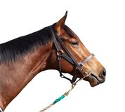 Cheval de course avec le Halter Photo stock