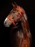 Cheval de course bavarois Photo libre de droits