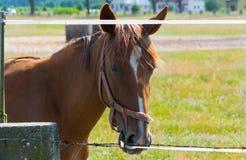 Cheval de course brun d'élevage dans la campagne Photo stock