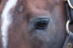 Cheval de course de Brown Images stock