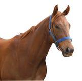 cheval de course de châtaigne Images libres de droits