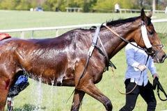 Cheval de course ?tant refroidi photographie stock libre de droits