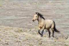 Cheval de désert Image libre de droits