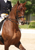 Cheval de Dressage image stock