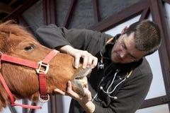 Cheval de examen de vétérinaire Images stock