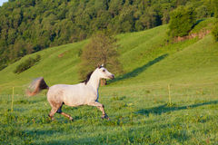 Cheval de Gray Arab Photo libre de droits
