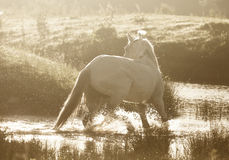 Cheval de Gray Arab Image libre de droits