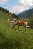 Cheval de Haflinger alimentant dans Alpes Photo stock