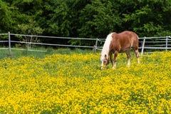 cheval de haflinger dans le pré de fleur de renoncule Image stock