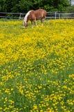 cheval de haflinger dans le pré de fleur de renoncule Photographie stock libre de droits