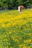 cheval de haflinger dans le pré de fleur de renoncule Photographie stock