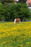 cheval de haflinger dans le pré de fleur de renoncule Images libres de droits