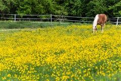 cheval de haflinger dans le pré de fleur de renoncule Photo stock