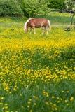 cheval de haflinger dans le pré de fleur de renoncule Photo libre de droits